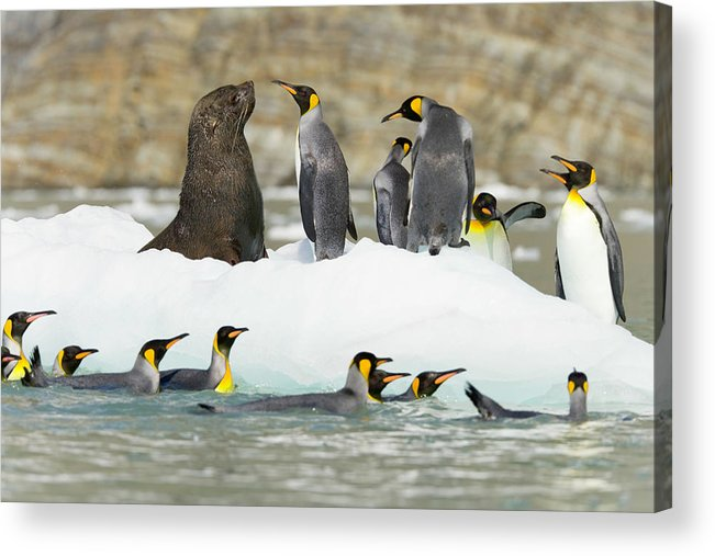 Horizontal Acrylic Print featuring the photograph Male Antarctic Fur Seal And King by Eastcott Momatiuk