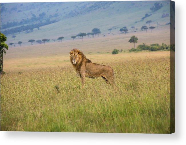 Kenya Acrylic Print featuring the photograph Male Lion In The Savanna Masai Mara by Seppfriedhuber