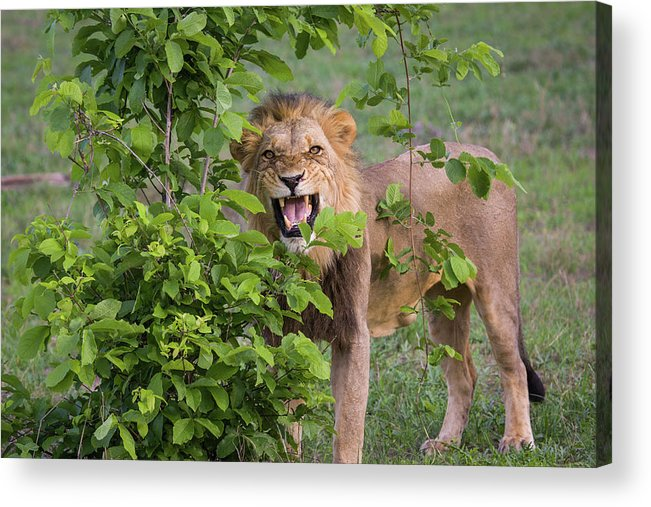 Toughness Acrylic Print featuring the photograph Male Lion With Teeth Bared, Botswana by Karen Desjardin