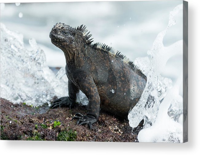 Animals Acrylic Print featuring the photograph Marine Iguana In Surf Zone by Tui De Roy