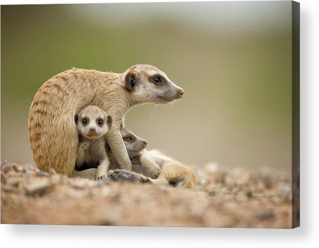 Care Acrylic Print featuring the photograph Meerkat Pups With Adult, Namibia by Paul Souders