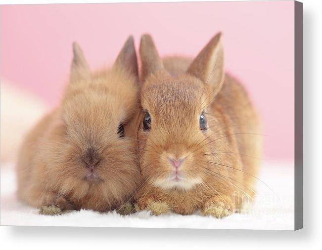 Pets Acrylic Print featuring the photograph Mini Rabbits by Shinya Sasaki/aflo