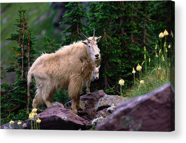 Animal Themes Acrylic Print featuring the photograph Mountain Goat Oreamnos Americanus by Art Wolfe