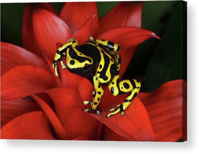 Animal Themes Acrylic Print featuring the photograph Orange Banded Dart Frog Dendrobates by Adam Jones