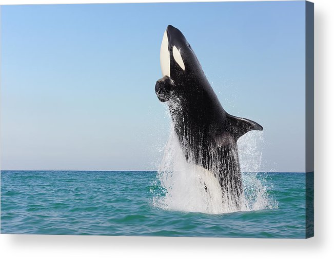 Three Quarter Length Acrylic Print featuring the photograph Orca Jumping Out Of Water by Martin Ruegner