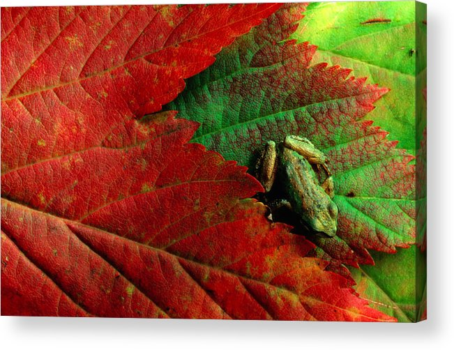 Pacific Tree Frog Acrylic Print featuring the photograph Pacific Tree Frog Hyla Regilla On Maple by Art Wolfe