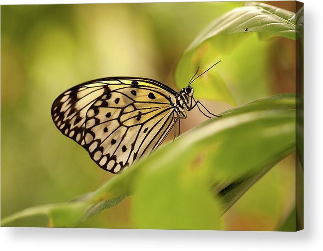 Natural Pattern Acrylic Print featuring the photograph Paper Kite Butterfly by Photos By Jay Bee