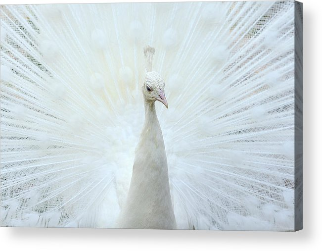 Indian Peafowl Acrylic Print featuring the photograph Pavone by Marco Pozzi Photographer