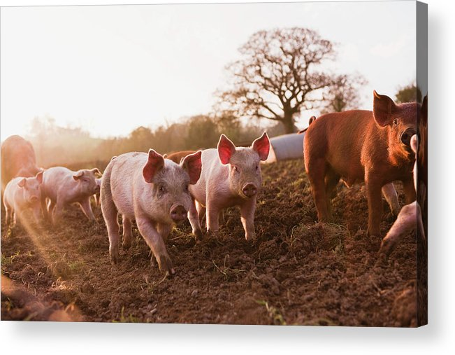 Pig Acrylic Print featuring the photograph Piglets In Barnyard by Jupiterimages