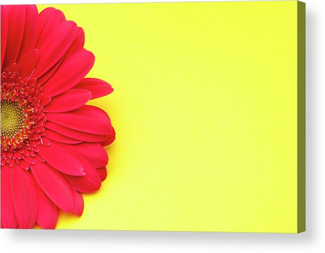 Petal Acrylic Print featuring the photograph Pink Gerbera Daisy On Yellow Background by Jill Fromer