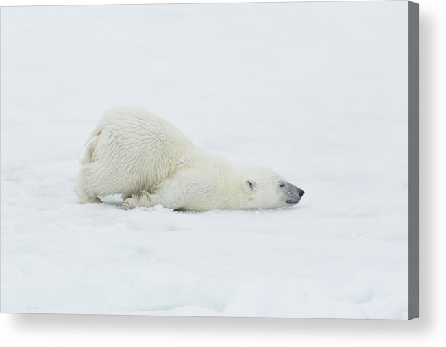 Svalbard Islands Acrylic Print featuring the photograph Polar Bear Cub Stretching Out On Ice by Darrell Gulin