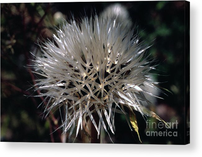Acrylic Print featuring the photograph Poof by Randy Oberg
