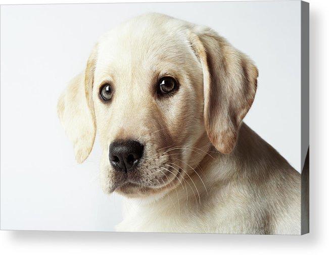 White Background Acrylic Print featuring the photograph Portrait Of Blond Labrador Retriever by Uwe Krejci