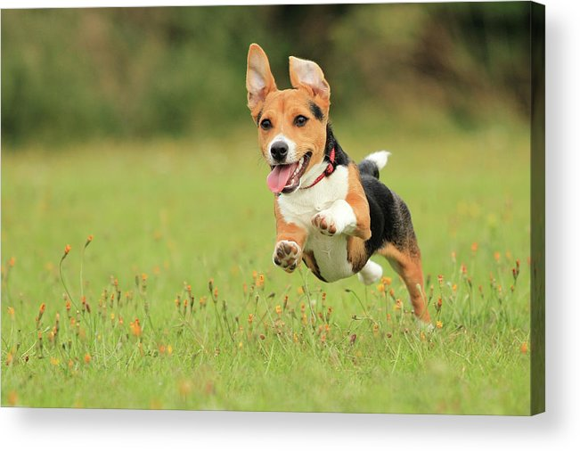 Grass Acrylic Print featuring the photograph Puppy by Paul Baggaley