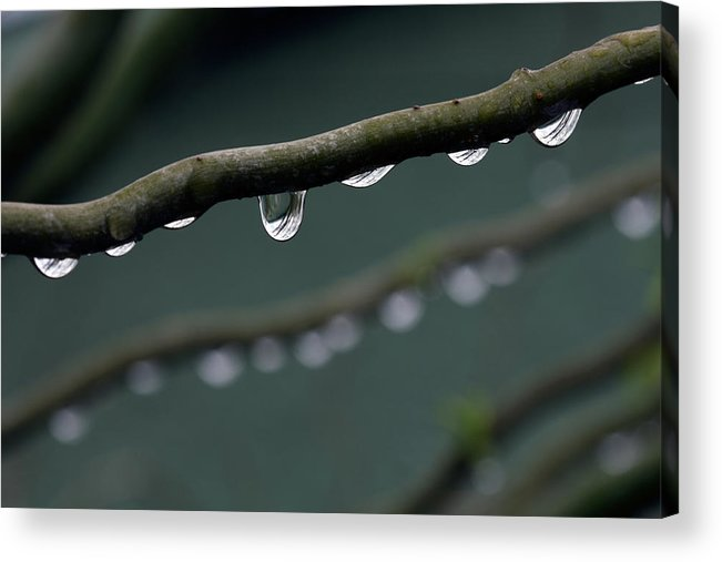 Windsor Acrylic Print featuring the photograph Rain Branch by Photography By Gordana Adamovic Mladenovic