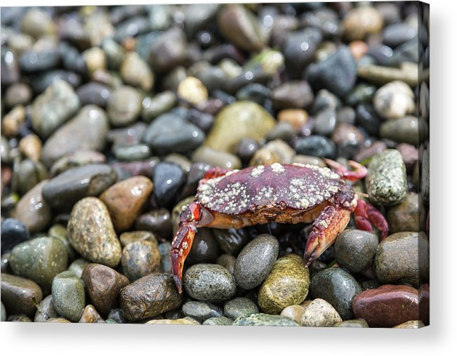 Water's Edge Acrylic Print featuring the photograph Red Rock Crab On A Pebble Covered Beach by Stevedf