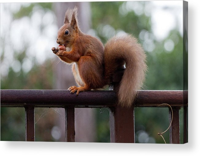 Animal Themes Acrylic Print featuring the photograph Red Squirrel Getting Ready For Winter by S0ulsurfing - Jason Swain