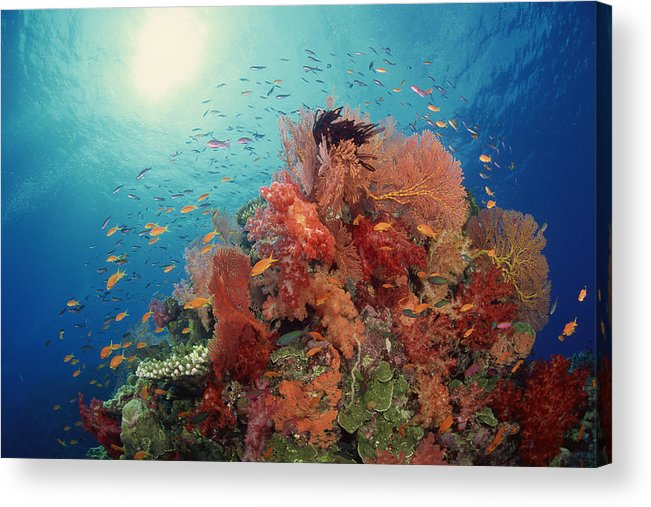 Underwater Acrylic Print featuring the photograph Reef Scenic Of Hard Corals , Soft by Comstock