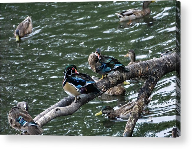 Duck Acrylic Print featuring the photograph Resting Ducks by Rob Olivo