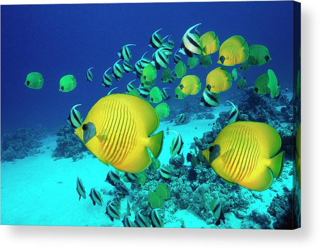 Underwater Acrylic Print featuring the photograph School Of Butterfly Fish Swimming On by Georgette Douwma