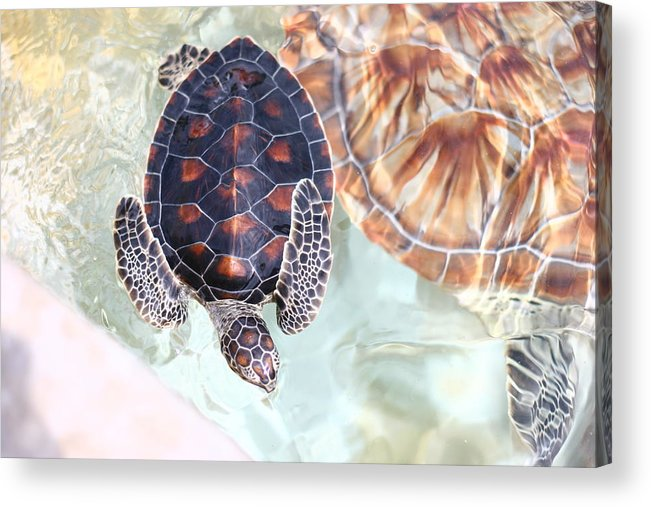 Underwater Acrylic Print featuring the photograph Sea Turtle by Alyssa B. Young