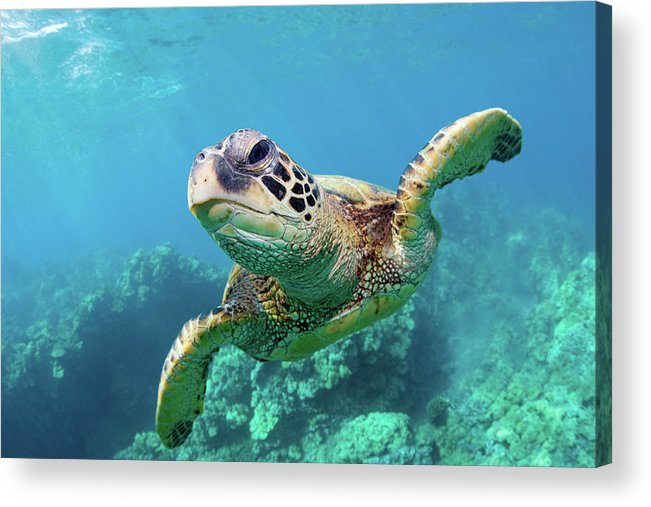 Underwater Acrylic Print featuring the photograph Sea Turtle, Hawaii by M Swiet Productions
