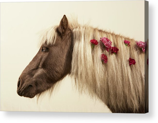 Animal Themes Acrylic Print featuring the photograph Shetland Pony With Flowers In Mane by Thomas Northcut
