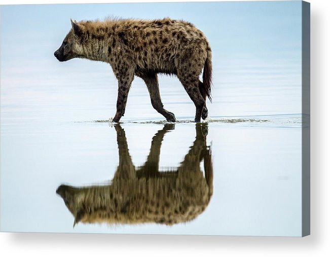Kenya Acrylic Print featuring the photograph Spotted Hyena Looking For Weak Flamingos by Manoj Shah