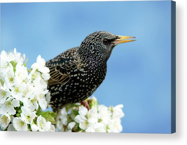Songbird Acrylic Print featuring the photograph Star In Springtime by Schnuddel