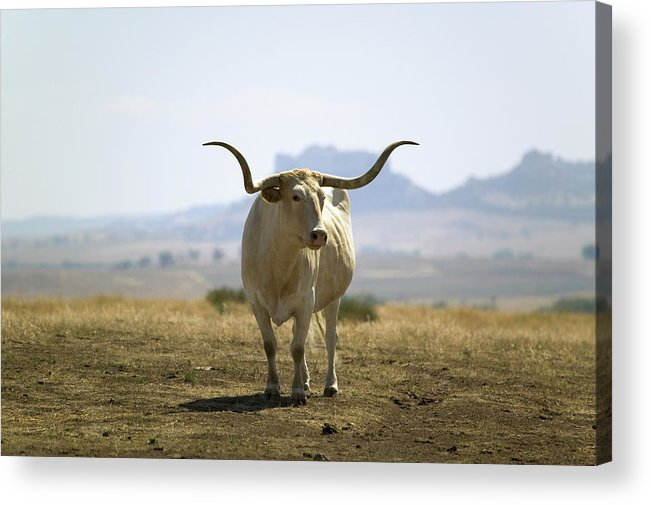 Horned Acrylic Print featuring the photograph Texas Longhorn by Joseph Sohm-visions Of America
