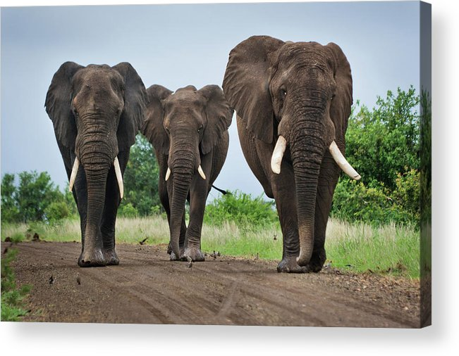 Toughness Acrylic Print featuring the photograph Three Big Elephants On A Dirt Road by Johansjolander
