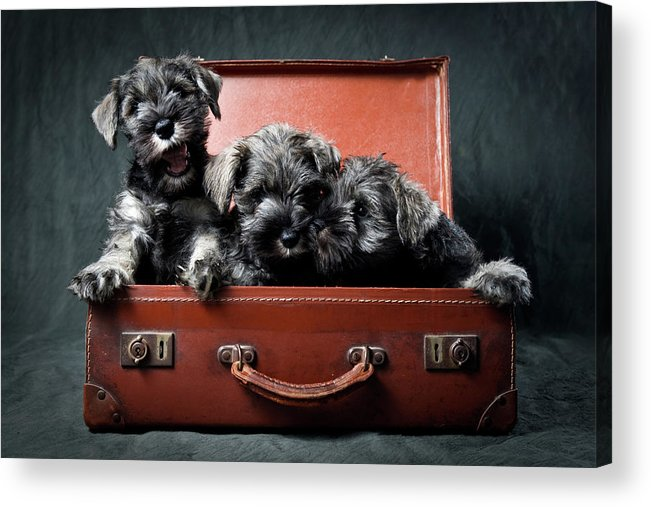 Pets Acrylic Print featuring the photograph Three Miniature Schnauzer Puppies In by Steve Collins / Momofoto