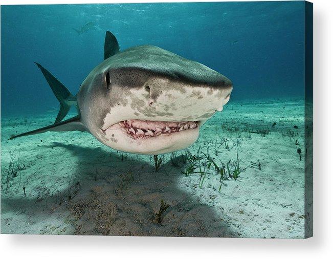 Underwater Acrylic Print featuring the photograph Tiger Sharks Galeocerdo Cuvier Are by Rodrigo Friscione