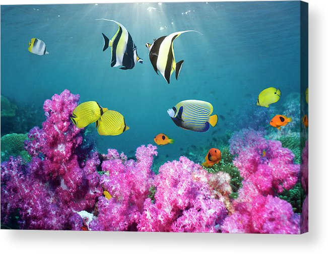 Tranquility Acrylic Print featuring the photograph Tropical Reef Fish Over Soft Corals by Georgette Douwma