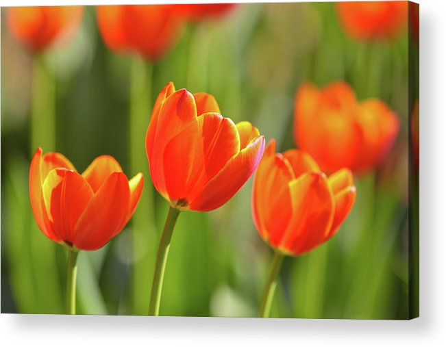 Flowerbed Acrylic Print featuring the photograph Tulip by Ithinksky