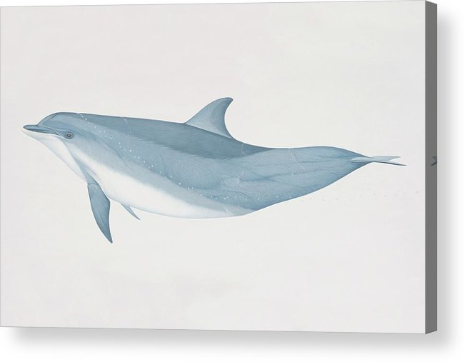 White Background Acrylic Print featuring the digital art Tursiops Truncatus, Bottlenose Dolphin by Martin Camm