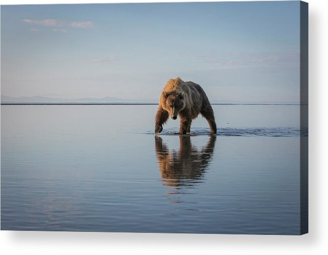 Bear Acrylic Print featuring the photograph Walking My Walk by Renee Doyle