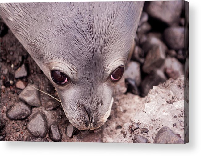 Animal Themes Acrylic Print featuring the photograph Weddell Seal Pup, Antarctica by Mint Images/ Art Wolfe