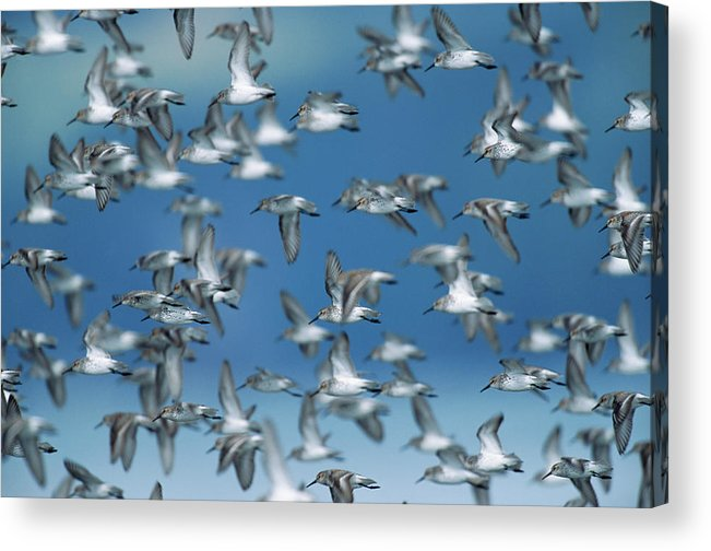Animal Themes Acrylic Print featuring the photograph Western Sandpipers Calidris Mauri by Eastcott Momatiuk