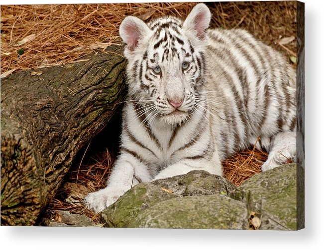 White Tiger Acrylic Print featuring the photograph White Tiger Cub by Empphotography