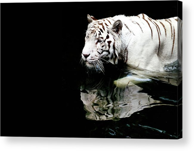 Three Quarter Length Acrylic Print featuring the photograph White Tiger In Water by Carlina Teteris