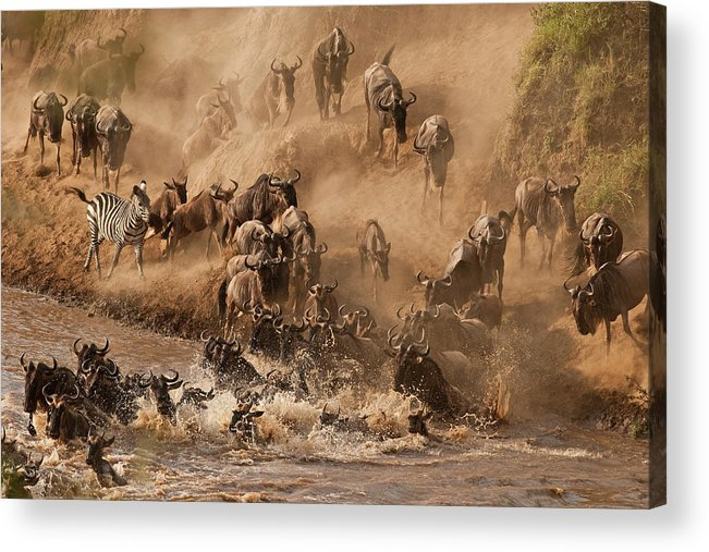 Horned Acrylic Print featuring the photograph Wildebeest And Zebra by Marsch1962uk