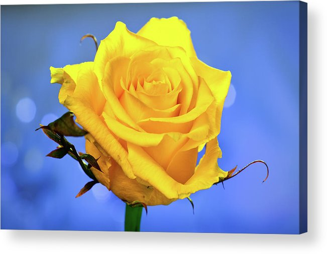 Slovenia Acrylic Print featuring the photograph Yellow Rose by © Karmen Smolnikar