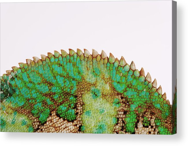 White Background Acrylic Print featuring the photograph Yemen Chameleon, Close-up Of Skin by Martin Harvey