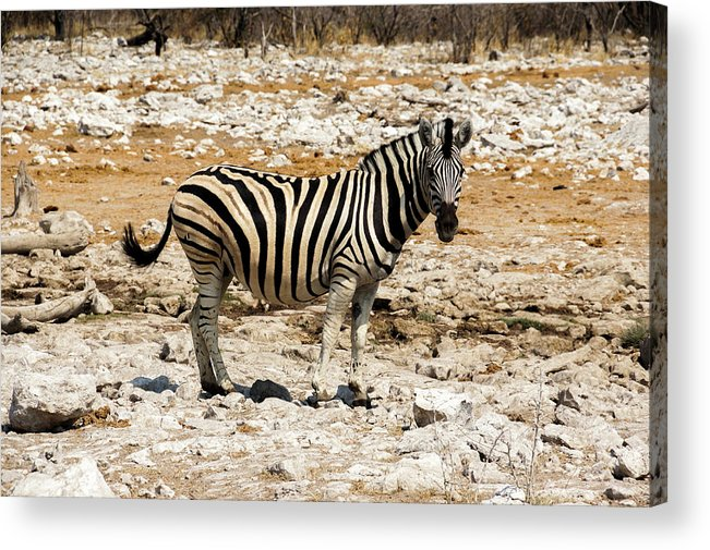 Animal Themes Acrylic Print featuring the photograph Zebra And White Rocks by Taken By Chrbhm