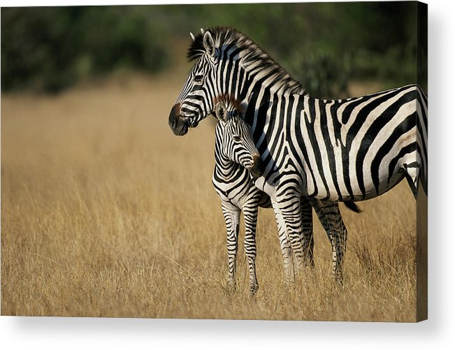 Botswana Acrylic Print featuring the photograph Zebra Eqqus Burchelli With Colt, Savuti by Paul Souders