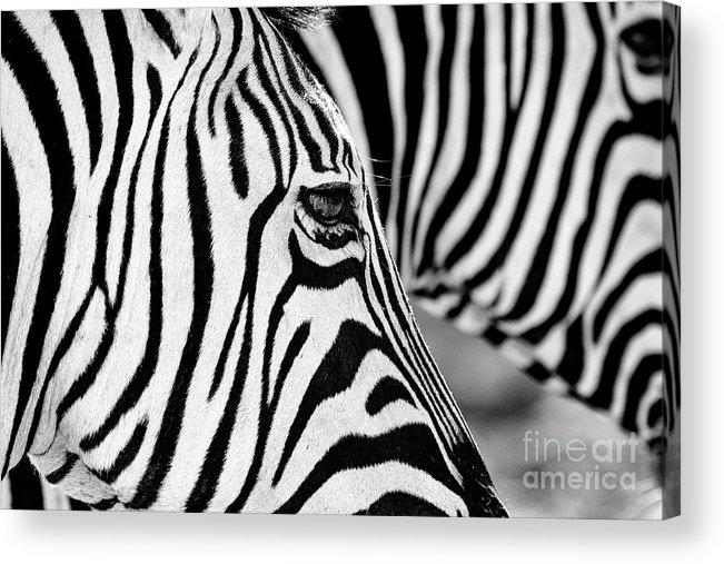 Animal Themes Acrylic Print featuring the photograph Zebra Stripes by Chris Kolaczan
