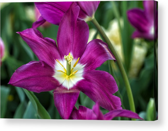 Purple Acrylic Print featuring the photograph Perfect Purple! by Jean-Marc PAYET
