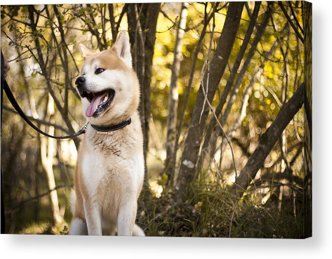 Animal Themes Acrylic Print featuring the photograph Akita inu dog on a walk in the forest by Katja Gavric