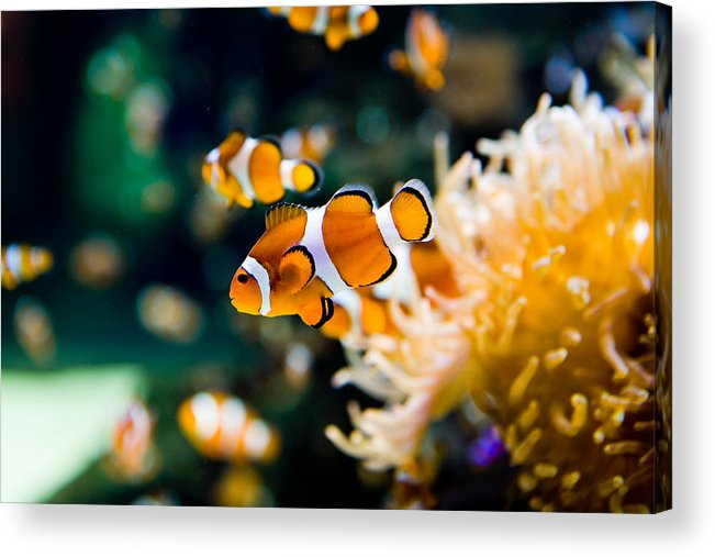Underwater Acrylic Print featuring the photograph Clownfish by RapidEye